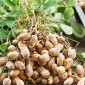 Семена арахиса